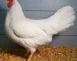 Πουλάδες Αυγοπαραγωγής - Νομός Καβάλας