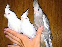 Αιμομιξία μεγάλο πουλί