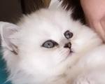 Περσικά Chinchila γατάκια - Νομός Φθιώτιδας