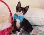Χαρίζεται γατάκι tuxedo γουργουριστό - Λυκόβρυση