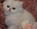 Γατακι Περσιας Chinchilla - Υπόλοιπο Αττικής