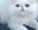 Γατακι περσιας - Υπόλοιπο Αττικής