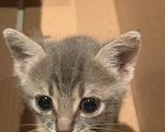 Χαρίζεται γκρίζο γατάκι - Νομός Μαγνησίας